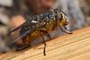Western Goldenhaired Blowfly (jeans_Photos) Tags: westerngoldenhairedblowfly blowfly calliphoraalbifrontalis westernaustralia wandoonationalpark australia calliphoridae diptera taxonomy:order=diptera