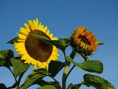 Tournesols. (daviddelattre) Tags: tournesols fleur feuille nature jaune pétale photo ciel bleu