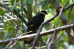 Collared Forest-Falcon (Byron Taylor) Tags: collaredforestfalcon forestfalcon falcon birds birdsofprey coati mammals nature wildlife wildlifephotography costarica osa osapeninsular corcovado nationalpark