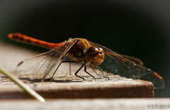Blutrote Heidelibelle (Sympetrum sanguineum) (ES9262) Tags: macro libelle libula nikon d7200 sigma 105mm nature natur