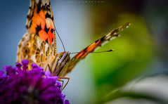 Slurp (dannygreyton) Tags: butterfly buddlejadavidii macro fujifilmxt2 fujifilm closeup animal nature