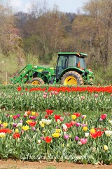 Holland Ridge Tulip Farm (78) (Framemaker 2014) Tags: holland ridge tulip farm creamridge new jersey monmouth county flowers united states america