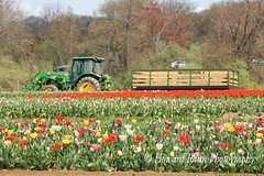 Holland Ridge Tulip Farm (77) (Framemaker 2014) Tags: holland ridge tulip farm creamridge new jersey monmouth county flowers united states america