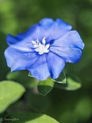 Bluedaze (Yorkey&Rin) Tags: 2019 autumn bluedaze em5markii inmygarden japan macro olympus olympusm60mmf28macro p9080064 rin september アメリカンブルー マクロ 九月 庭