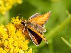Skipper Butterfly (Karen_Chappell) Tags: skipper orange yellow insect macro butterfly canonef100mmf28usmmacro green bokeh closeup nature wildflower flower floral goldenrod canada atlanticcanada avalonpeninsula eastcoast portugalcove grandconcourse