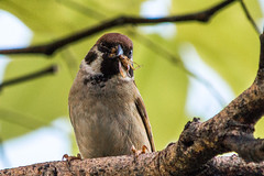 Eurasian Tree Sparrow (stephtlim) Tags: philippines maya eurasiantreesparrow birds