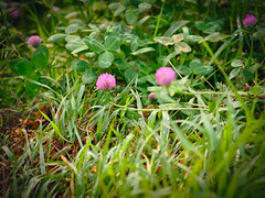 Clover (banagher_links) Tags: olympus omd em10 mark iii mft micro 43 nature sigma flower