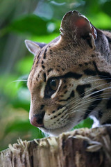 Ozelot - Leopardus pardalis (DeanB Photography) Tags: 100400 1dx 2019 animals canon leipzig tier tiere zoo animal tierfotograf leopardus pardalis ozelot raubtier katze