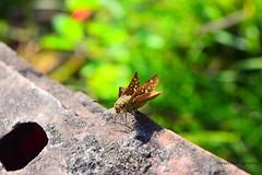 Skipper Butterfly (Sheuli Hossain) Tags: skipperbutterfly butterfly nature