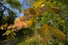 EarlyAutumn (Tony Tooth) Tags: nikon d7100 sigma 1020mm leaves autumn september autumnleaves turningleaves ecton staffs staffordshire