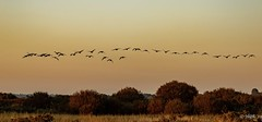 Canada Geese at Sunset (H.G.R) Tags: canadageesesunsettitchfieldhaven canadageese sunset titchfieldhaven
