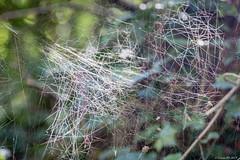 Une étrange toile d'araignée.. A strange cobweb .. (Didier Gozzo) Tags: araignée toile spider cobweb macro canon outdoor ngc proxy didiergozzo