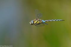 Into The Blue (Paul:Ritchie) Tags: aeshna aeshnamixta aeshnidae anisoptera arthropoda dragonflies dragonfliy insecta insects migranthawker nature nikon80200mmf28 nikond7100 odonata paulritchie wildlife wwwhampshiredragonfliescouk