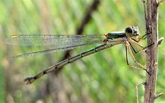 Somatochlora (explored 16.09.19) (smokykater - 800k+ views) Tags: somatochlora libelle summer greece dragonfly cordulia peloponissos animal flying libellula nature damselfly