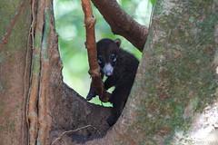 Coati (Byron Taylor) Tags: collaredforestfalcon forestfalcon falcon birds birdsofprey coati mammals nature wildlife wildlifephotography costarica osa osapeninsular corcovado nationalpark
