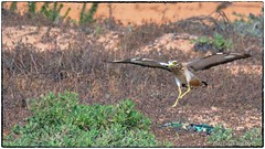 Stone curlew (RKop) Tags: israel eingedi raphaelkopanphotography d500 200500mmf56edvrzoom