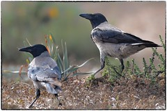 Hooded Crow (RKop) Tags: israel eingedi raphaelkopanphotography d500 200500mmf56edvrzoom