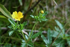 buttercup (EllaH52) Tags: plant flower buttercup yellow green nature bokeh macro light shadows
