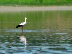 White stork (R_Ivanova) Tags: nature bird stork whitestork water reflection outdoor lake landscape summer sony rivanova риванова природа пейзаж птици щъркел вода отражение езеро лято bulgaria