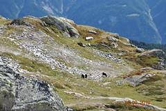 DSC_2704 (Puntin1969) Tags: svizzera vallese estate montagna montagne nikon reflex settembre animali