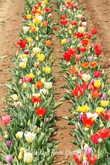 Holland Ridge Tulip Farm (80) (Framemaker 2014) Tags: holland ridge tulip farm creamridge new jersey monmouth county flowers united states america