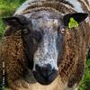 Mr. Sheep (Ivan van Nek) Tags: langebrinkweg soest urecht thenetherlands sheep schaap ram nikon nikond7200 d7200 sigma1770 paysbas nederland dieniederlande rural