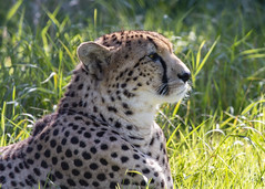Cheetah ( Acinonyx jubatus ) (DaveGray) Tags: canoneos70d wildplace acinonyxjubatus cheetah bigcat wildcat grass outside