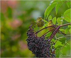 Elderberry Tasters (Summerside90) Tags: birds birdwatchers warblers capemaywarblers september summer fallmigration backyard garden elderberries nature wildlife ontario canada
