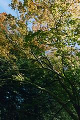 _IMG5059 (fleetingphotons) Tags: pentaxmzs sigma35mmf14art cinestill50d cinestillc41kit selfdeveloped film 35mm c41 westonbirtarboretum trees leaves camerascan