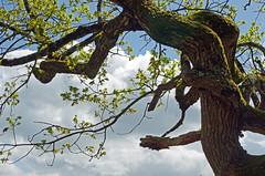 Douadic (Indre) (sybarite48) Tags: douadic indre france étangdelamerrouge chêne oak oaktree eiche eichenholz بلوط اوكفي 橡木 橡 roble δρυσ quercia オーク eik dąb carvalho дуб meşe