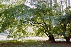 _IMG5094 (fleetingphotons) Tags: pentaxmzs sigma35mmf14art film 35mm c41 kodakportra160 selfdeveloped cinestillc41kit camerascan westonbirtarboretum trees leaves