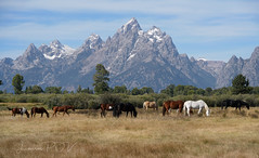 A Day of Rest (laura's Point of View) Tags: horses horse animal mountain mountains tetons rockymountains autumn pasture trees sky beauty beautiful resting lauraspov lauraspointofview moran jacksonhole wyoming unitedstates west western
