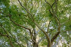 _IMG5092 (fleetingphotons) Tags: pentaxmzs sigma35mmf14art film 35mm c41 kodakportra160 selfdeveloped cinestillc41kit camerascan westonbirtarboretum trees leaves