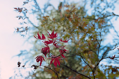_IMG5091 (fleetingphotons) Tags: pentaxmzs sigma35mmf14art film 35mm c41 kodakportra160 selfdeveloped cinestillc41kit camerascan westonbirtarboretum trees leaves redleaves