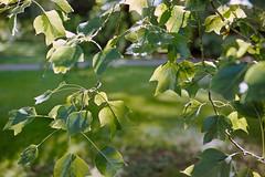 _IMG5088 (fleetingphotons) Tags: pentaxmzs sigma35mmf14art film 35mm c41 kodakportra160 selfdeveloped cinestillc41kit camerascan westonbirtarboretum trees leaves