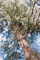 _IMG5084 (fleetingphotons) Tags: pentaxmzs sigma35mmf14art film 35mm c41 kodakportra160 selfdeveloped cinestillc41kit camerascan westonbirtarboretum trees leaves