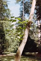 _IMG5083 (fleetingphotons) Tags: pentaxmzs sigma35mmf14art film 35mm c41 kodakportra160 selfdeveloped cinestillc41kit camerascan westonbirtarboretum trees leaves