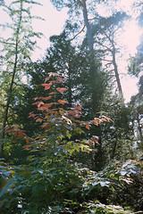 _IMG5081 (fleetingphotons) Tags: pentaxmzs sigma35mmf14art film 35mm c41 kodakportra160 selfdeveloped cinestillc41kit camerascan westonbirtarboretum trees leaves