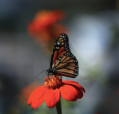 The Monarch in the garden (Robin Wechsler) Tags: butterfly macro insect nature garden