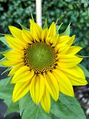 Photo of Sunflower