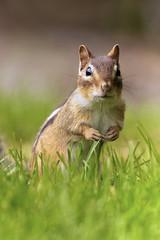 Mr. Peanut the Chipmunk (Dan Demczuk) Tags: dan demczuk canon 7d nature wildlife chippy sciuridae chipmunk peanut grass green outdoor summer hollandlandiing