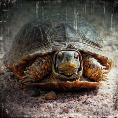 desert box turtle... (Chuck Pacific AKA Chuck Tofu) Tags: turtle boxturtle sonoita empireranch arizona distressedfx distressedtexture hss