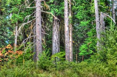 Contentment (Eclectic Jack) Tags: tree trees forest green calming peaceful cougar state washington bark fern plant branch summer autumn fir conifir