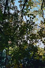 _IMG5057 (fleetingphotons) Tags: pentaxmzs sigma35mmf14art cinestill50d cinestillc41kit selfdeveloped film 35mm c41 westonbirtarboretum trees leaves camerascan