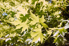 _IMG5100 (fleetingphotons) Tags: pentaxmzs sigma35mmf14art film 35mm c41 kodakportra160 selfdeveloped cinestillc41kit camerascan westonbirtarboretum trees leaves