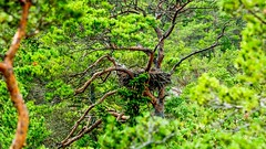 White-Tailed Eagles nest 🌴 (Esa Suomaa) Tags: trees forest nest scandinavia green suomi finland islands europe planetearth olympusomd