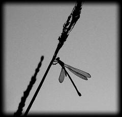 """* DRAGONFLY *"" #photooftheday #photography #nature #paisajes #landscape #blancoynegro #naturaleza #expressión #imagination #flowers #igerspontevedra #blackandwhite #natural #dragonfly #devilagarcía #macrophotography #vilagarciadearousa #pontevedra #galic (saffsunset) Tags: photooftheday riadearousa pentaxkx huaweiphotographers vgaviva huaweiphotography riasbaixas blancoynegro galicia dragonfly naturaleza blackandwhite digitalphotography macrophotography paisajes devilagarcía igerspontevedra flowers natural nature galiciamaxica imagination pontevedra disfrutargalicia expressión vilagarciadearousa galifornia photography landscape vilagarciaviva"