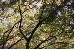 _IMG5066 (fleetingphotons) Tags: pentaxmzs sigma35mmf14art cinestill50d cinestillc41kit selfdeveloped film 35mm c41 westonbirtarboretum trees leaves camerascan
