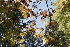_IMG5065 (fleetingphotons) Tags: pentaxmzs sigma35mmf14art cinestill50d cinestillc41kit selfdeveloped film 35mm c41 westonbirtarboretum trees leaves camerascan