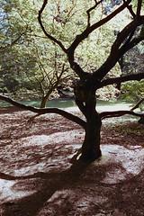 _IMG5064 (fleetingphotons) Tags: pentaxmzs sigma35mmf14art cinestill50d cinestillc41kit selfdeveloped film 35mm c41 westonbirtarboretum trees leaves camerascan